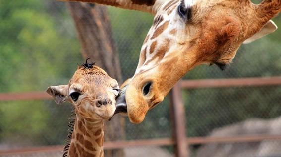 la nueva jirafa de chapultepec