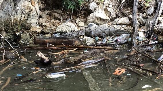 muere cocodrilo por ingerir plasticos en el canon del sumidero