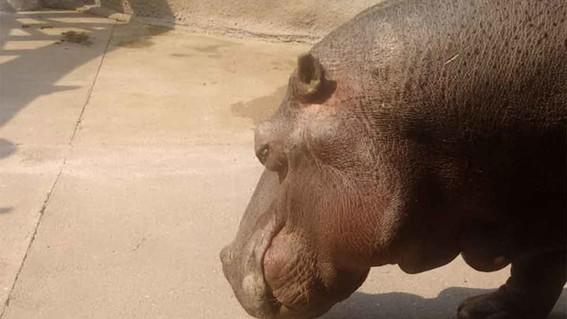 murio bianca hipopotama del zoologico de aragon