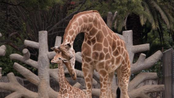 jirafifita zoo chapultepec