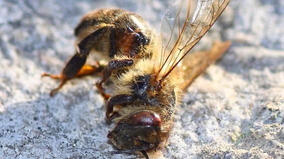 abejas del sudor adentro de los ojos
