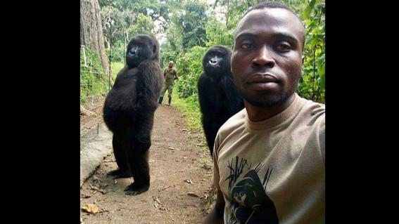 selfie gorilas en el parque nacional virunga
