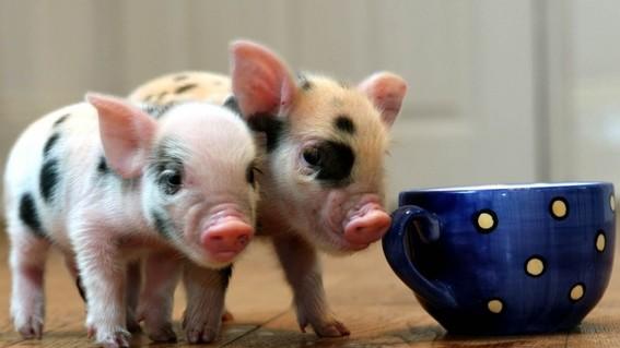 unam no te recomienda tener un mini pig como mascota