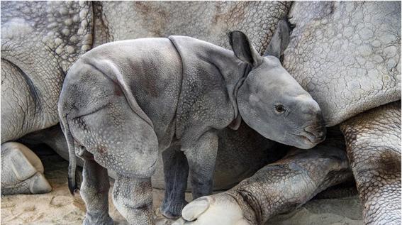 el rinoceronte fue concebido via in vitro pertenece a la especie conocida como indio que esta en peligro de extincion rinoceronte indio con in