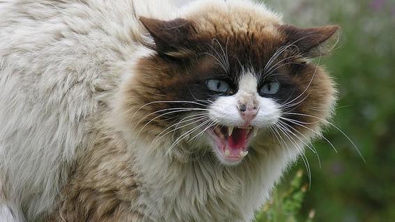 2 millones de gatos salvajes seran sacrificados en australia