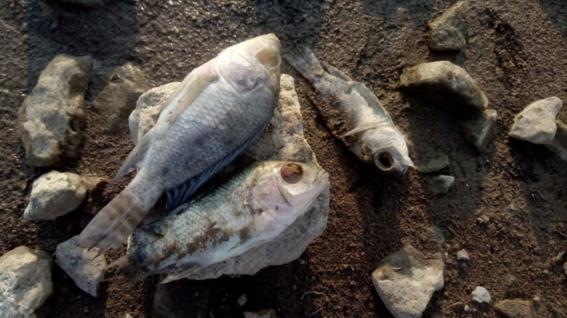 peces muertos en la presa san jose