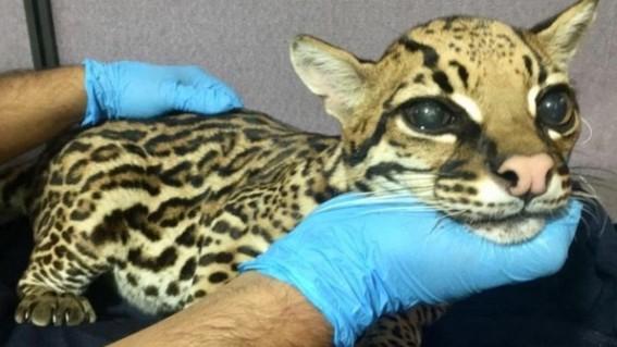 cortan colmillos a leopardo bebe para domesticarlo como gato