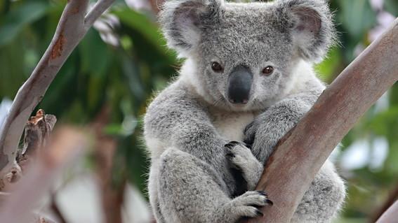 Una ONG anuncia que los koalas están ya