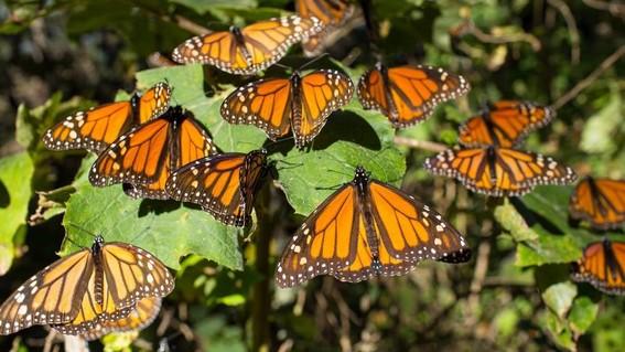 en riesgo las mariposas monarca por uso de herbicidas