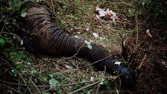 quitan la prohibicion de caza de elefantes en botswana