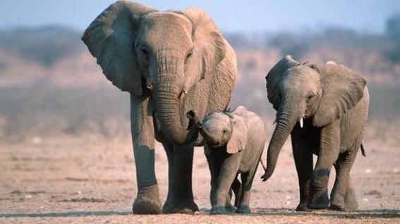 elefantesafricanosenpeligroapesardequehaymenoscaza