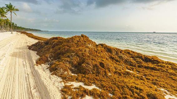 sargazo la plaga que amenaza con hacer del caribe mexicano un pantano pestilente