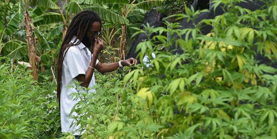 jamaica-intenta-recuperar-una-especie-de-cannabis-perdido-utilizado-por-bob-marley
