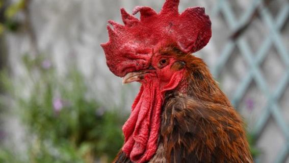 cosas de gallo