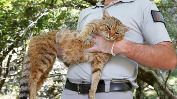 gato zorro de corcega