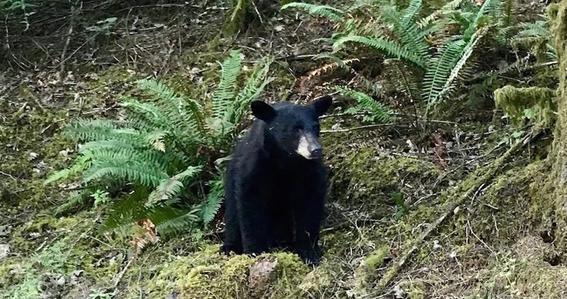 sacrifican a oso negro en oregon