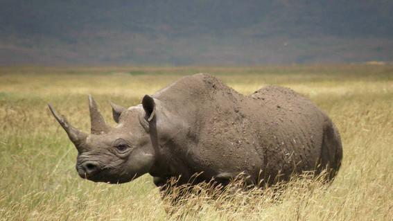 trasladan 5 rinocerontes a ruanda para evitar su extincion