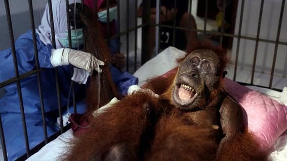 orangutanes no tienen hogar por culpa de produccion de aceite