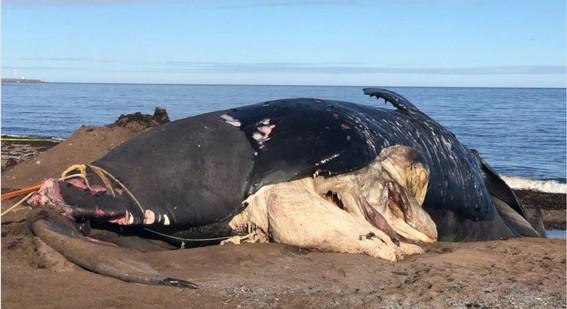 muere ballena por chocar contra un barco en canada