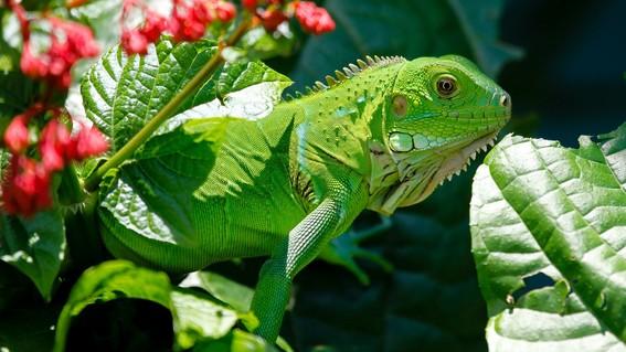 florida iguanas verdes