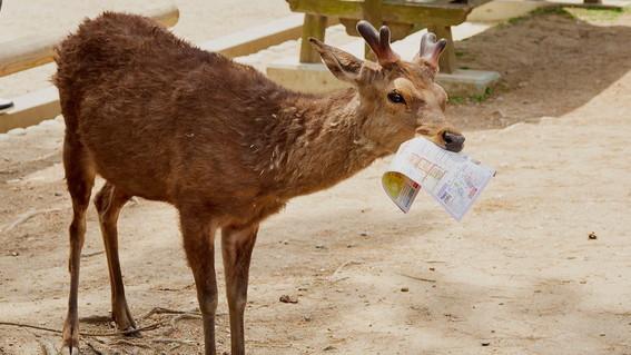 mueren ciervos al comer plastico que tiran los turistas en japon
