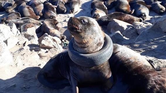 video rescatan a lobo marino con llanta atorada en su cuello