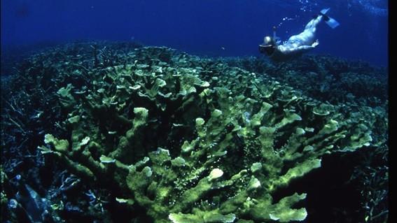 los cientificos atribuyen la decoloracion de los corales al exceso de nitrogeno que seria el causante de la muerte de los arrecifes de coral
