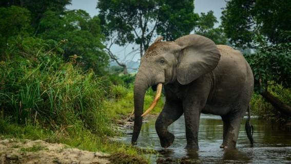 extinciondeelefantesafricanosdebosqueagudizariacambioclimatico