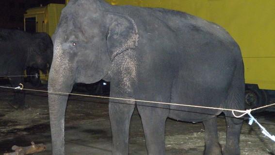 podrian regresar animales a los circos con nueva ley de morena
