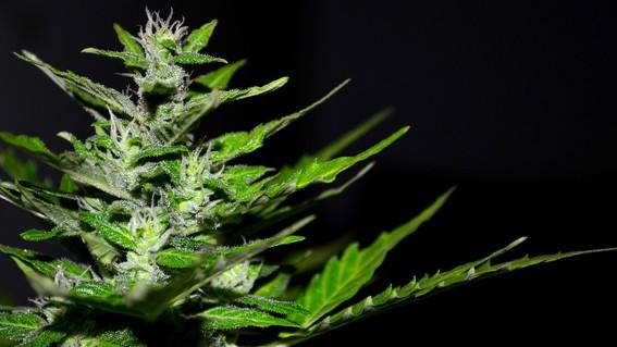 sembrando vida marihuana mexico