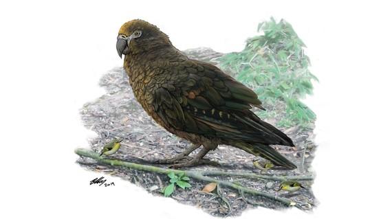 los restos fosiles del ave localizada por investigadores australianos revelan que el animal tenia una altura de un metro y un pico extra fuerte