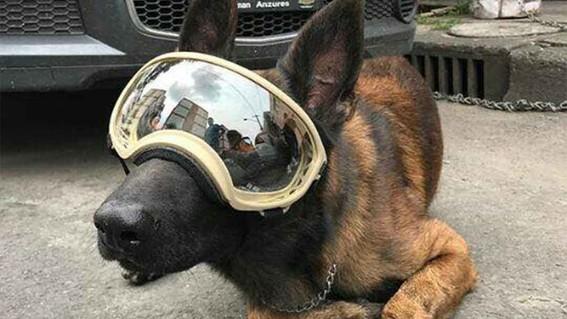 muere chichi el perro rescatista del sismo del 19s