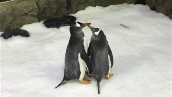una pareja de pingüinos machos que habita en el zoologico de berlin decidio adoptar un huevo abandonado por su madre