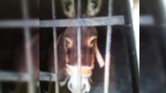 arrestan a burro en oaxaca