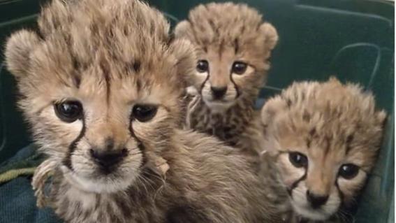 contrabando de guepardos ultraricos golfo arabe