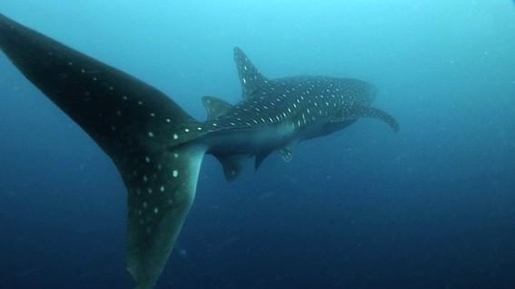 dia internacional del tiburon ballena