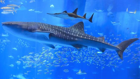 el proximo 30 de agosto en mexico se celebrara el dia internacional del tiburon ballena que se refugia habitualmente en la bahia de la paz baja