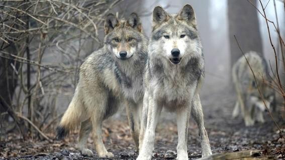 entre las especies salvadas de la extincion figura el lobo gris mexicano originario del estado de chihuahua