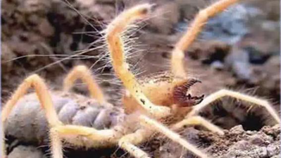 """el nuevo tipo de """"arana camello"""" es en realidad un solifugo que recientemente fue descubierto mide unos dos centimetros y podria ser capaz de co"""