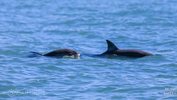 el museo de la ballena y ciencias del mar compartio imagenes del avistamiento de ejemplares de vaquita marina en el alto golfo de california