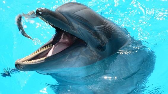 delfines drogados pez globo