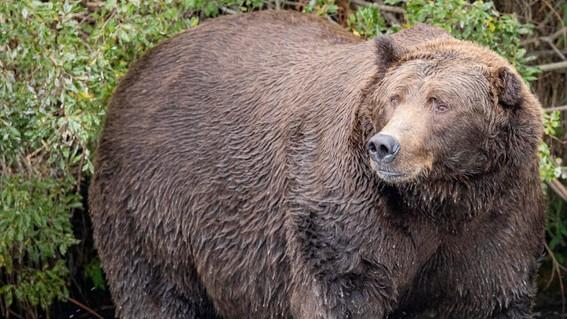 osos katmai national park  preserve
