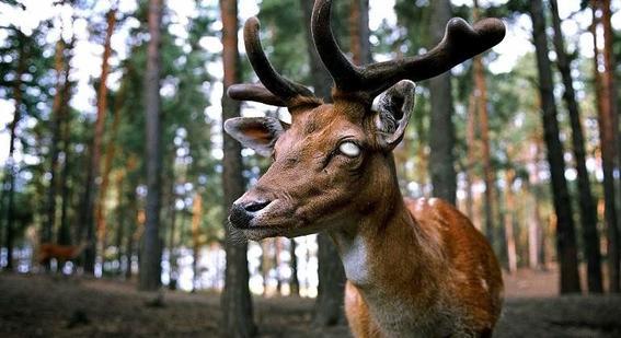 autoridades del departamento de vida silvestre emitieron una alerta a loa cazadores debido a la alta incidencia de venados zombie en varios estad