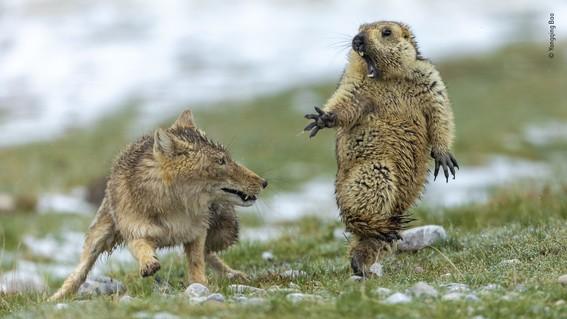 wildlifephotographeroftheyear2019winnerfoxmarmot