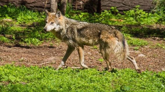 el lobo mexicano esta catalogado como extinta en el medio silvestre en la norma oficial mexicana por lo que se trabaja en su conservacion