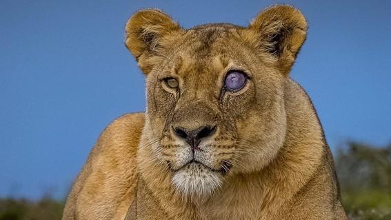leona ojo de cristal sudafrica