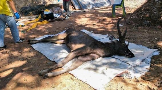 el ciervo fue encontrado sin vida en tailandia reflejando el problema de tirar basura y desechos en aguas y bosques en este pais