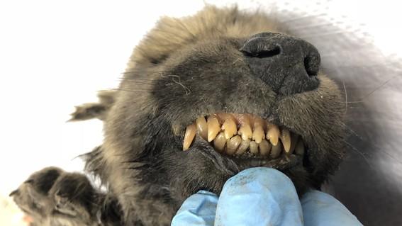 el cuerpo del cachorro descongelado en siberia ha abierto un debate entre los cientificos debido a que las pruebas de adn no logra descifrar si e