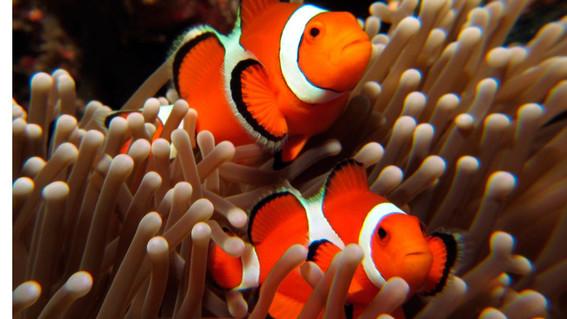 existe el riesgo de perder a la especie marina debido a que carece de la capacidad genetica para adaptase a los cambios en su entorno
