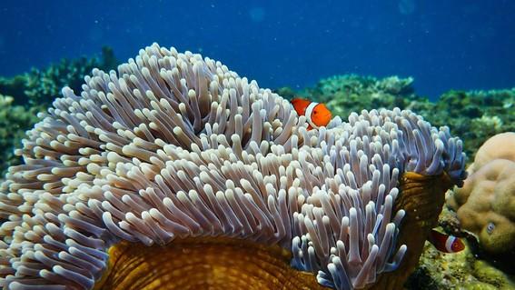 """el """"enriquecimiento acustico"""" podria ser una herramienta para ayudar a restaurar los arrecifes de coral danados"""